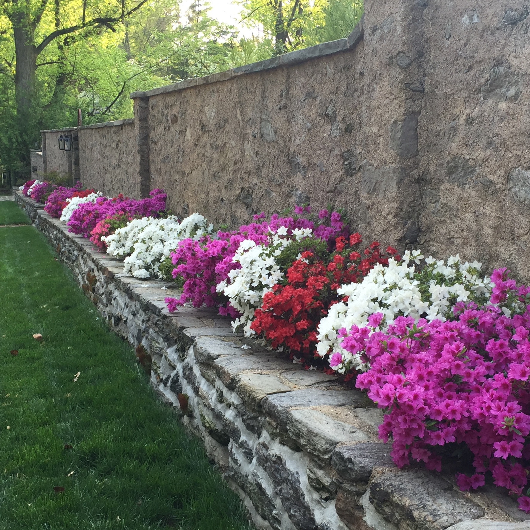 Mixed color azaleas to create the rainbow of spring time excitement